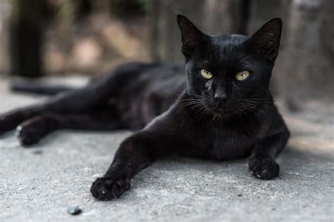 Black Cat Names Cattime Black Cat