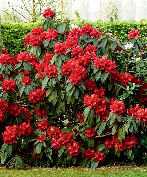 fabulous evergreen shrub with stunning flowers in an