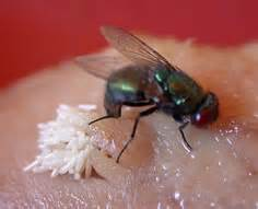 where do house flies lay eggs house flies eggs www pixshark com images galleries with a bite