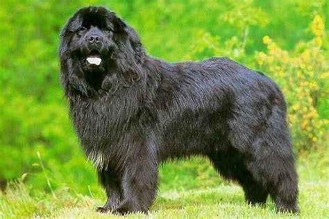 Cing La Grange Neuve by Terranova Razas De Perros Mundo Animal