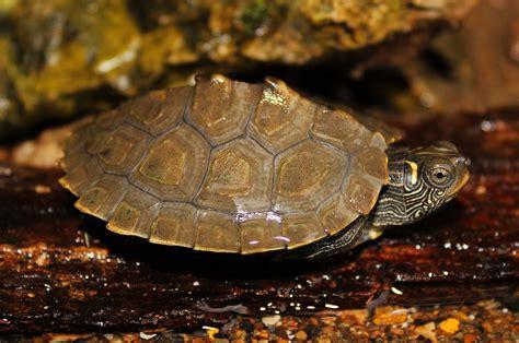 louisiana map turtle false map turtle graptemys pseudogeographica