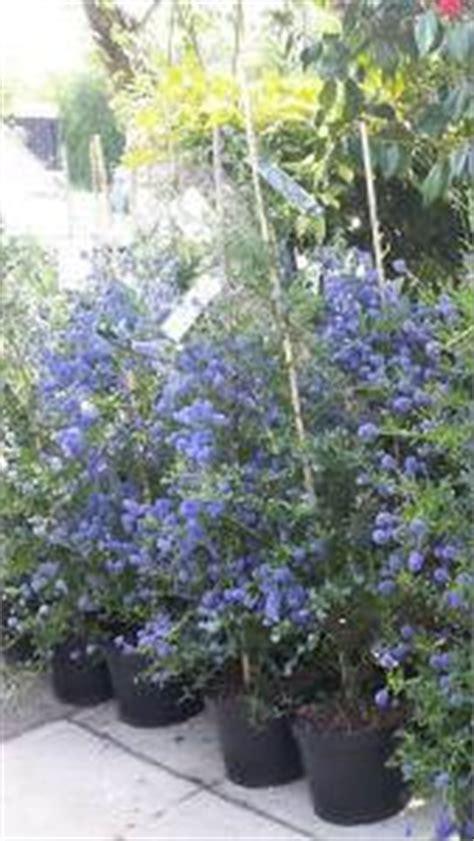 evergreen shrubs with blue flowers blue flowering evergreen shrubs