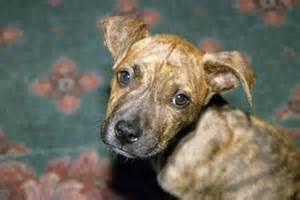 what color is brindle pitbull brindle coat breeds picture