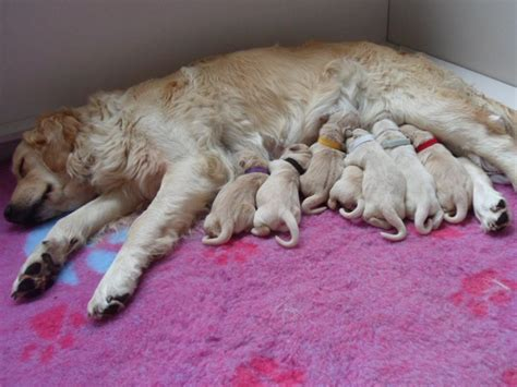 golden retriever litter beautiful litter of golden retriever puppies cromer norfolk pets4homes