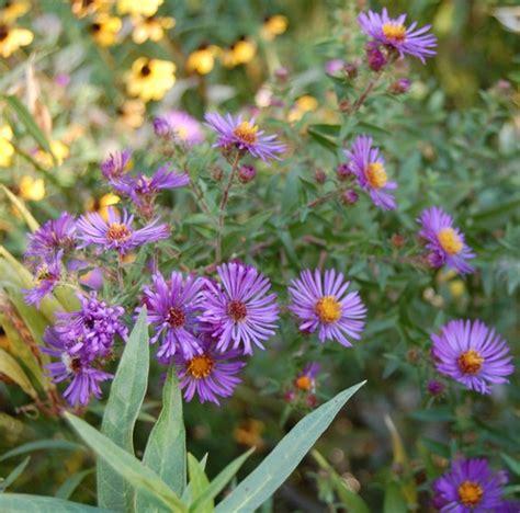 tanaman aster pikok ungu bibitbungacom