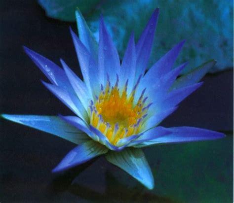 fiore ninfea etnobotanica delle ninfee psicoattive