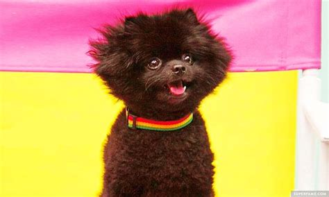 barkley the rest in peace barkley the pom dies superfame
