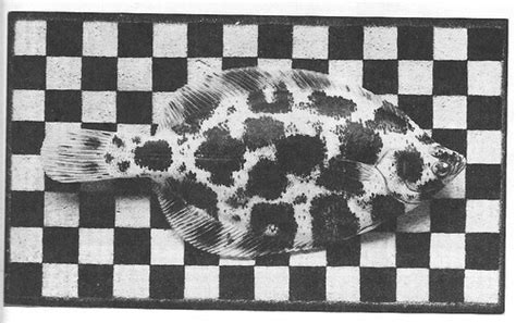 checkered pattern history this winter flounder resting on a checkerboard pattern