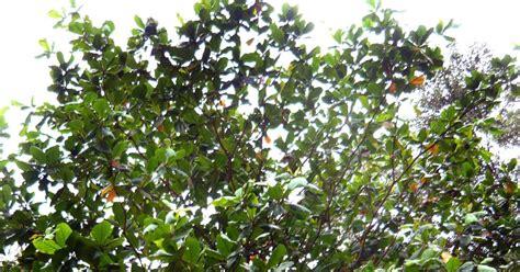 Daun Ketapang Kering daun ketapang kering perihal pokok ketapang