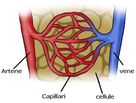 vasi capillari apparato circolatorio