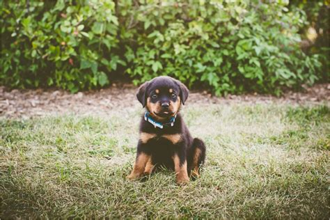dcd rottweilers wisconsin george the puppy brookfield wisconsin studio 29 photography