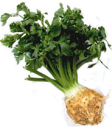 Bibit Seledri Batang benih celeriac seledri akar celery root