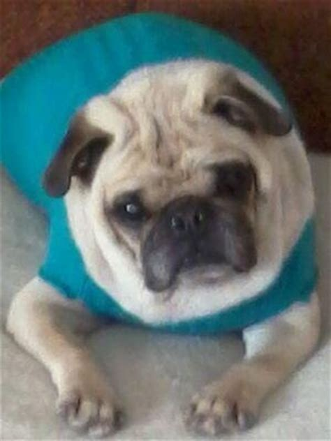 mid atlantic pug rescue pin by mid atlantic pug rescue on available pugs