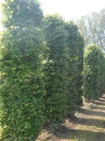 arbres d 233 coratifs pour jardin et terrasse