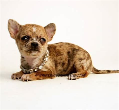yorkie puppies for sale in san antonio tx teacup chihuahua is a chihuahua puppy for sale in san antonio tx breeds picture