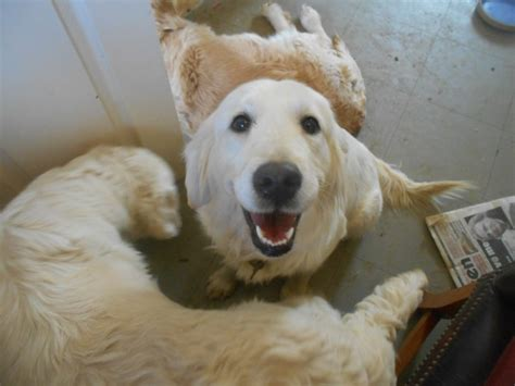 rescue golden retriever uk golden retriever milton keynes buckinghamshire pets4homes