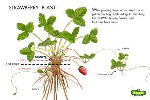 Growing strawberries in pots how to grow strawberries