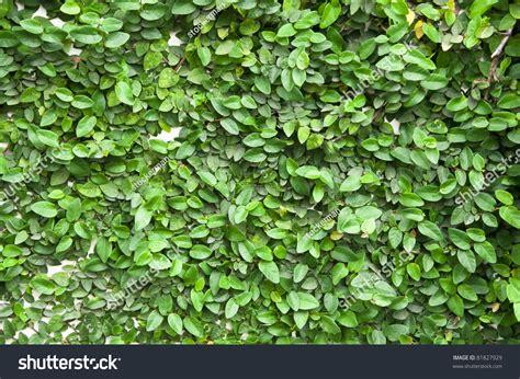 climbing fig plant creeper plant climbing fig creeping fig creeping rubber