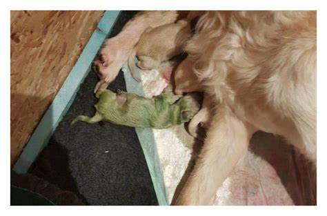golden retriever with green golden retriever pup proves green is the new gold