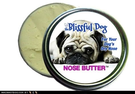 pug constantly nose nose butter precious pugs