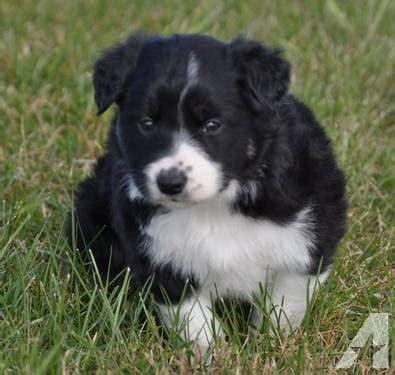 border collie puppies for sale in iowa akc registered border collie puppies for sale in cambria iowa classified