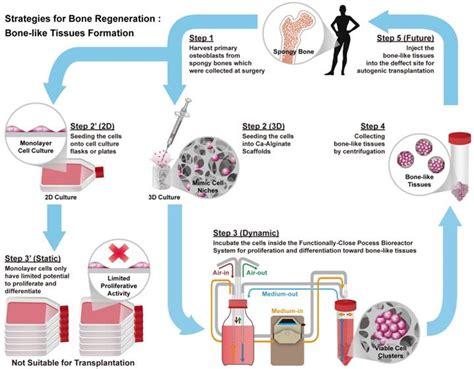 bioreactor cell culture protocol 3d porous calcium alginate scaffolds cell culture system