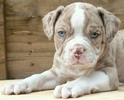 merle puppies for sale merle bulldog puppies for sale boston lincolnshire pets4homes