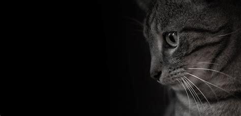 imagenes artisticas de gatos 30 incre 237 bles fondos de pantalla en blanco y negro para