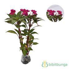Tanaman Bunga Dahlia Ungu Tinggi 30 50 Cm tanaman amarilis merah amaryllis bibitbunga