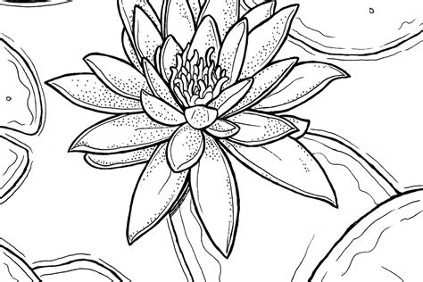 lily water coloring pages coloring pages