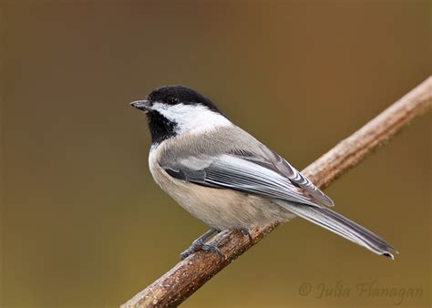 chickadee mating calls black capped chickadee
