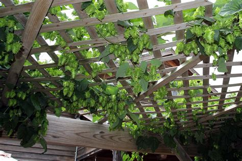 backyard hops growing hops hops garden pinterest