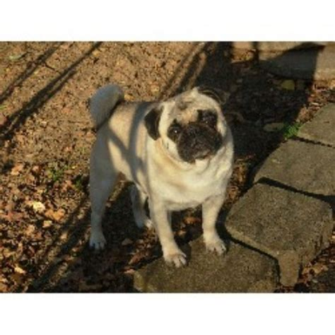 pug breeders in newfoundland akc newfoundland males for stud breeds picture