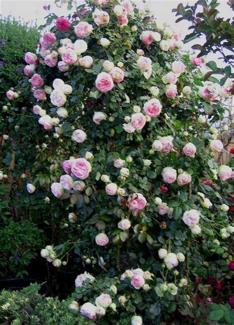 imagenes de rosas trepadoras imagen del encantador rosal trepador
