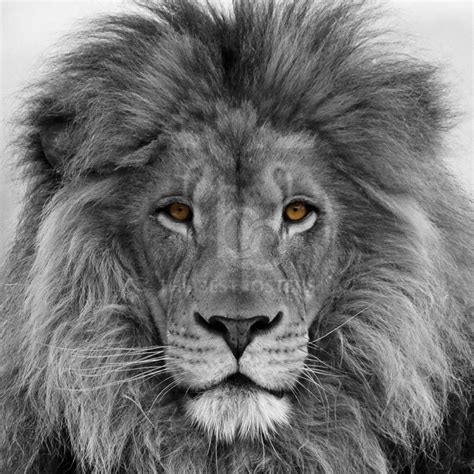 imagenes de leones blanco y negro cuadros abstracto envio todo colombia