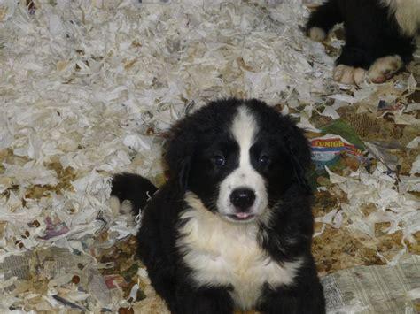 landseer puppies for sale newfoundland landseer haircuts newhairstylesformen2014