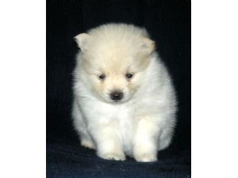 pomeranian puppies for sale in ky pomeranian puppies in kentucky