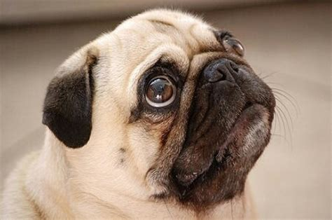 pug begging 10 pairs of that could convince you to do anything familypet