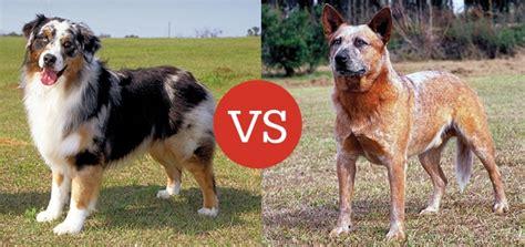 australian shepherd vs australian cattle what s the difference between the australian shepherd and the australian cattle