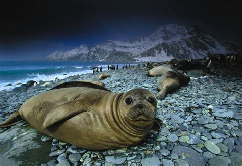 Southern Elephant Seal, South Georgia Island, UK - Art Wolfe