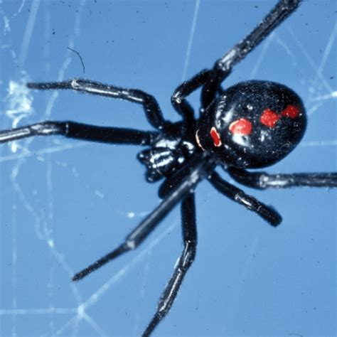 how to get rid of spiders in the house how to get rid of black widow spiders how to get rid of stuff