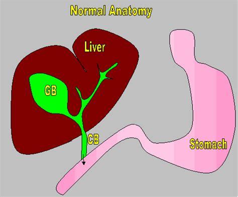 do dogs gallbladders b12 deficiency and gallbladder removal gallbladder