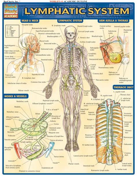 Lymphatic System Worksheet by Lymphatic System Lymphatic System Nursing Books And Math