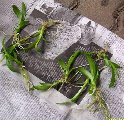 Pot Bibit Anggrek kompot komonitas pot effektif anggrek dendrobium
