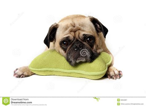 tired pug tired pug royalty free stock photography image 5934287