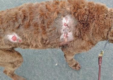 antifungal shoo for dogs resident warns community about fungal infection community news beverlyreview net