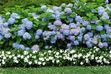 significato fiore ortensia ortensie ortensia caratteristiche delle ortensie