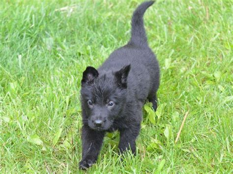 berry the black german shepherd aileen berry german shepherd puppies for sale