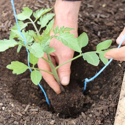 how to plant tomato seedlings