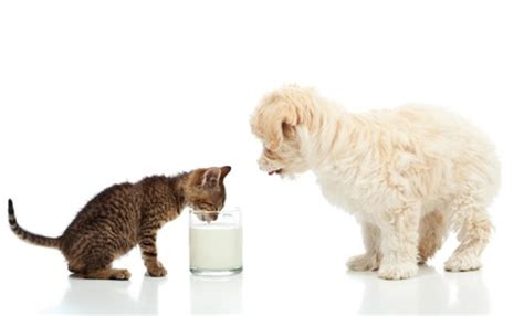 is dairy bad for dogs milk for dogs best treat recipes